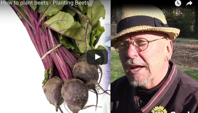 Planting Beets